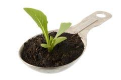 Nueva planta de la lechuga que crece en una cuchara de sopa Foto de archivo libre de regalías