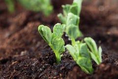 Nueva planta en la fila que crece de suelo Imágenes de archivo libres de regalías