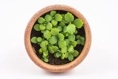 Nueva planta en pequeño pote anaranjado Foto de archivo