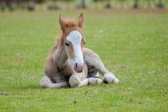 Nueva sentada de Forest Pony Fotografía de archivo