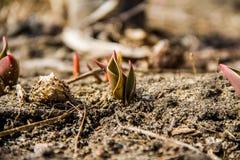 Nueva vida Él primavera del ` s un pequeño brote de un tulipán imagenes de archivo