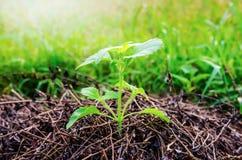 Nueva vida de la hierba verde Imagenes de archivo