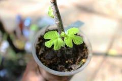Nueva vida de una planta del higo común fotos de archivo libres de regalías
