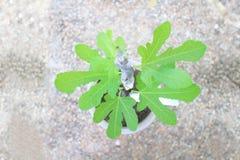 Nueva vida de una planta del higo común imagen de archivo libre de regalías