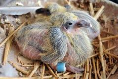 Nueva vida: una paloma joven de la raza Fotografía de archivo