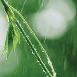 Nueva Virginia Victoria Creeper Leaves, lluvia del comienzo del verano, fondo fresco mojado del día lluvioso de la hoja, primer v Foto de archivo libre de regalías