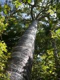 Nueva Zelanda: árbol joven del kauri fotografía de archivo