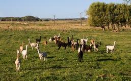 Manada de alpacas Fotos de archivo libres de regalías