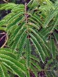 Nuevas frondas verdes de un árbol de la mimosa Fotografía de archivo