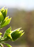 Nuevas hojas de la lila Fotos de archivo libres de regalías