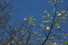 Nuevas hojas de un árbol de seda del speciosa o de la seda del ceiba imagen de archivo