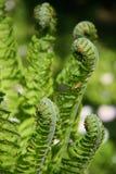 Nuevas hojas del helecho en resorte Fotografía de archivo libre de regalías