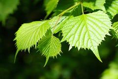 Nuevas hojas del verde Imágenes de archivo libres de regalías