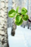 Nuevas hojas del verde en el invierno Imagenes de archivo