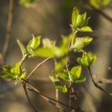 Nuevas hojas en primavera Fotografía de archivo