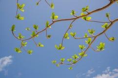Nuevas hojas que crecen en fondo brillante del cielo azul Fotos de archivo