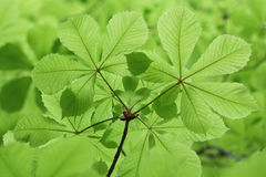 Nuevas hojas verdes frescas de la castaña en primavera Imagen de archivo