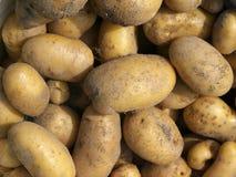 Nuevas patatas. Cosecha del otoño. Fotografía de archivo libre de regalías