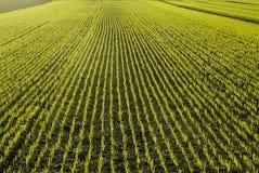 Nuevas plantas de semillero del trigo Imagen de archivo libre de regalías