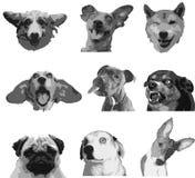 Nueve emociones de perros criados en línea pura Fotos de archivo libres de regalías