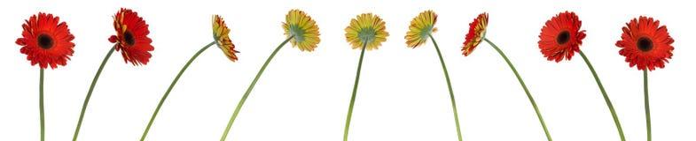 Nueve flores rojas del gerbera en diversas posiciones Fotos de archivo libres de regalías