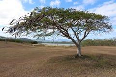 Nuevo árbol caledonio Fotografía de archivo libre de regalías
