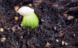 Nuevo brote del calabacín que crece con la cáscara de la semilla encima de la planta Foto de archivo