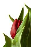 Nuevo brote del tulipán del resorte rojo Fotos de archivo