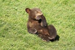 Nuevo cachorro de oso marrón del bebé Foto de archivo
