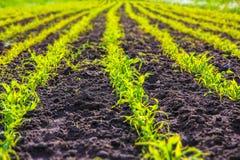 Nuevo campo de maíz Imagen de archivo libre de regalías