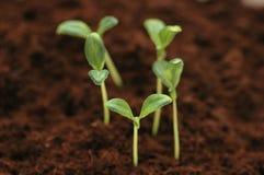Nuevo concepto de la vida - plantas de semillero g Imagen de archivo libre de regalías