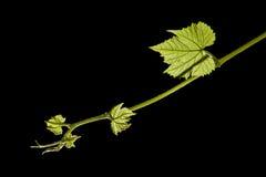 Nuevo crecimiento de la hoja de la vid de uva Fotografía de archivo libre de regalías