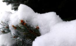 Nuevo crecimiento de Pinecone debajo de la nieve fresca en rama del pino foto de archivo