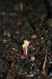 Nuevo crecimiento de una planta Foto de archivo