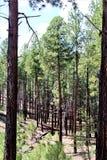 Nuevo crecimiento 2002 del fuego del rodeo-Chediski del bosque del Estado de Apache Sitgreaves 2018, Arizona, Estados Unidos foto de archivo