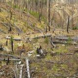 Nuevo crecimiento después del incendio forestal. Imagen de archivo libre de regalías