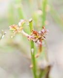 Nuevo crecimiento en arbusto color de rosa Imagen de archivo libre de regalías