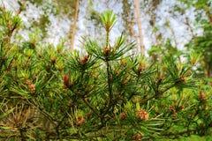 Nuevo crecimiento en ramas de árbol de los sylvestris del pinus del pino escocés o escocés La planta conífera imperecedera joven  Fotos de archivo