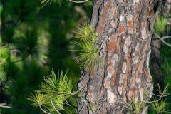 Nuevo crecimiento a trav?s de la corteza de ?rbol chamuscada del canariensis del pinus del ?rbol de pino de Canarias en el La Cum imágenes de archivo libres de regalías