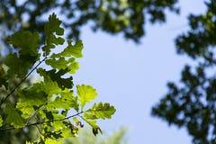 Nuevo follaje verde claro de la primavera que crece en altas copas de las ramas del bosque verde con el cielo azul claro Fotografía de archivo libre de regalías