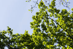 Nuevo follaje verde claro de la primavera que crece en altas copas de las ramas del bosque verde con el cielo azul claro Imagen de archivo