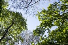Nuevo follaje verde claro de la primavera que crece en altas copas de las ramas del bosque verde con el cielo azul claro Imagen de archivo libre de regalías