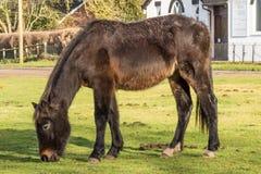 Nuevo Forest Pony foto de archivo