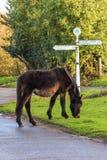 Nuevo Forest Pony fotos de archivo libres de regalías