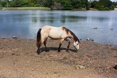 Nuevo Forest Pony hermoso Fotografía de archivo libre de regalías
