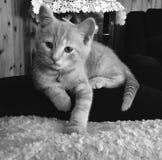 Nuevo gatito Foto de archivo