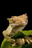 Nuevo Gecko caledonio Fotos de archivo