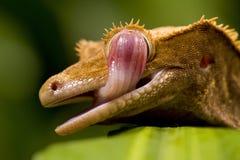 Nuevo Gecko caledonio Fotografía de archivo