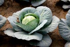 Nuevo híbrido cabbage-81 Foto de archivo