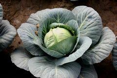 Nuevo híbrido cabbage-81 Imágenes de archivo libres de regalías